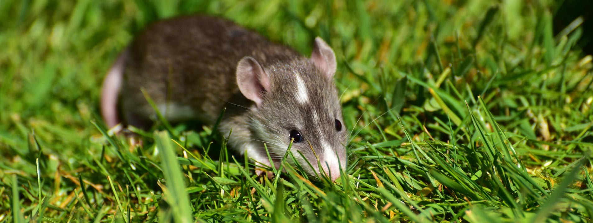 Rodent Control Point Cook Melbourne